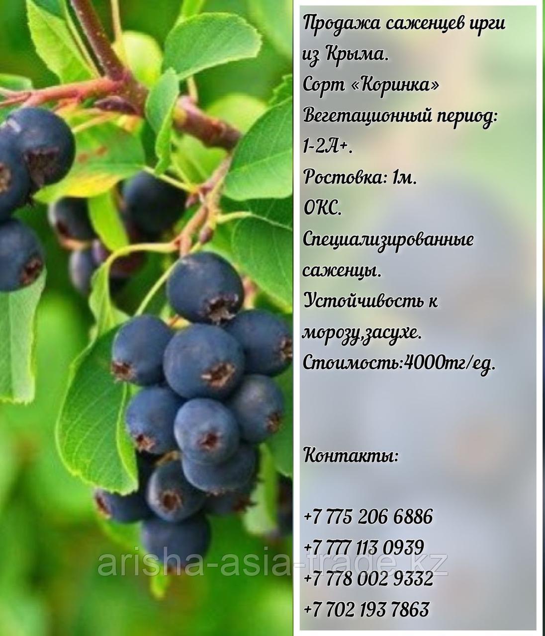"""Саженец ирга """"Коринка"""" Крым"""