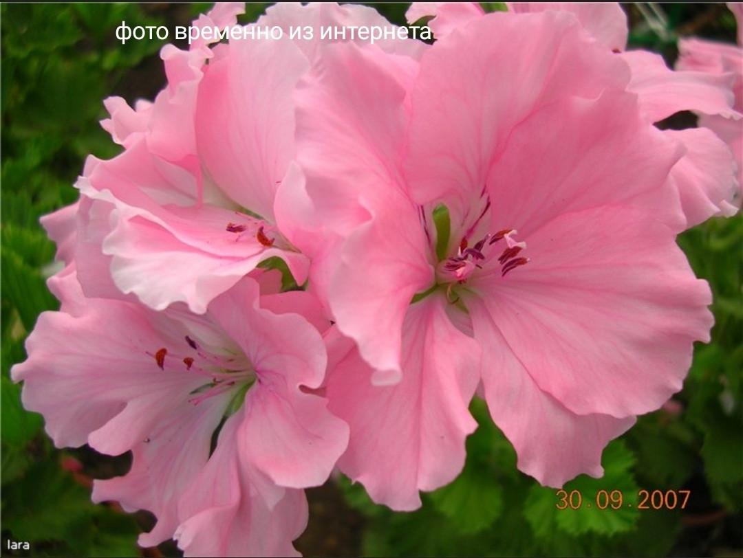 Pink Micado / укор.черенок
