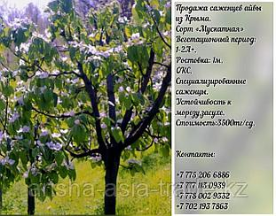 "Саженец айва ""Мускатная"" Крым"