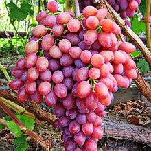 """Саженцы винограда """"Кишмиш лучистый"""", с закрытой корневой"""