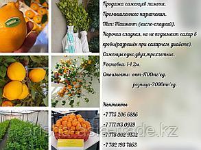 """Саженцы лимона сорт """"Ташкент""""."""