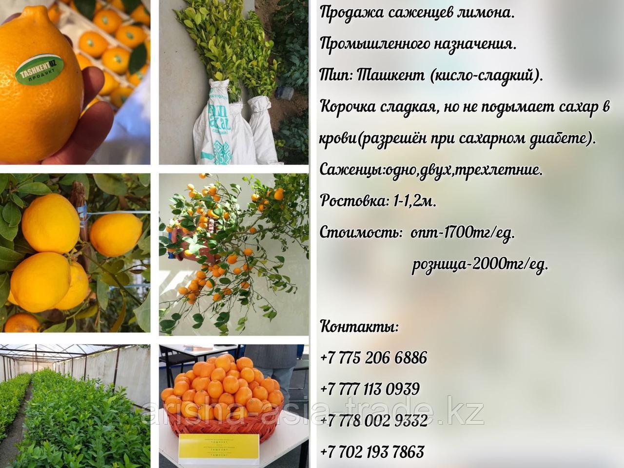 """Саженец лимона сорт """"Ташкент"""" Узбекистан"""
