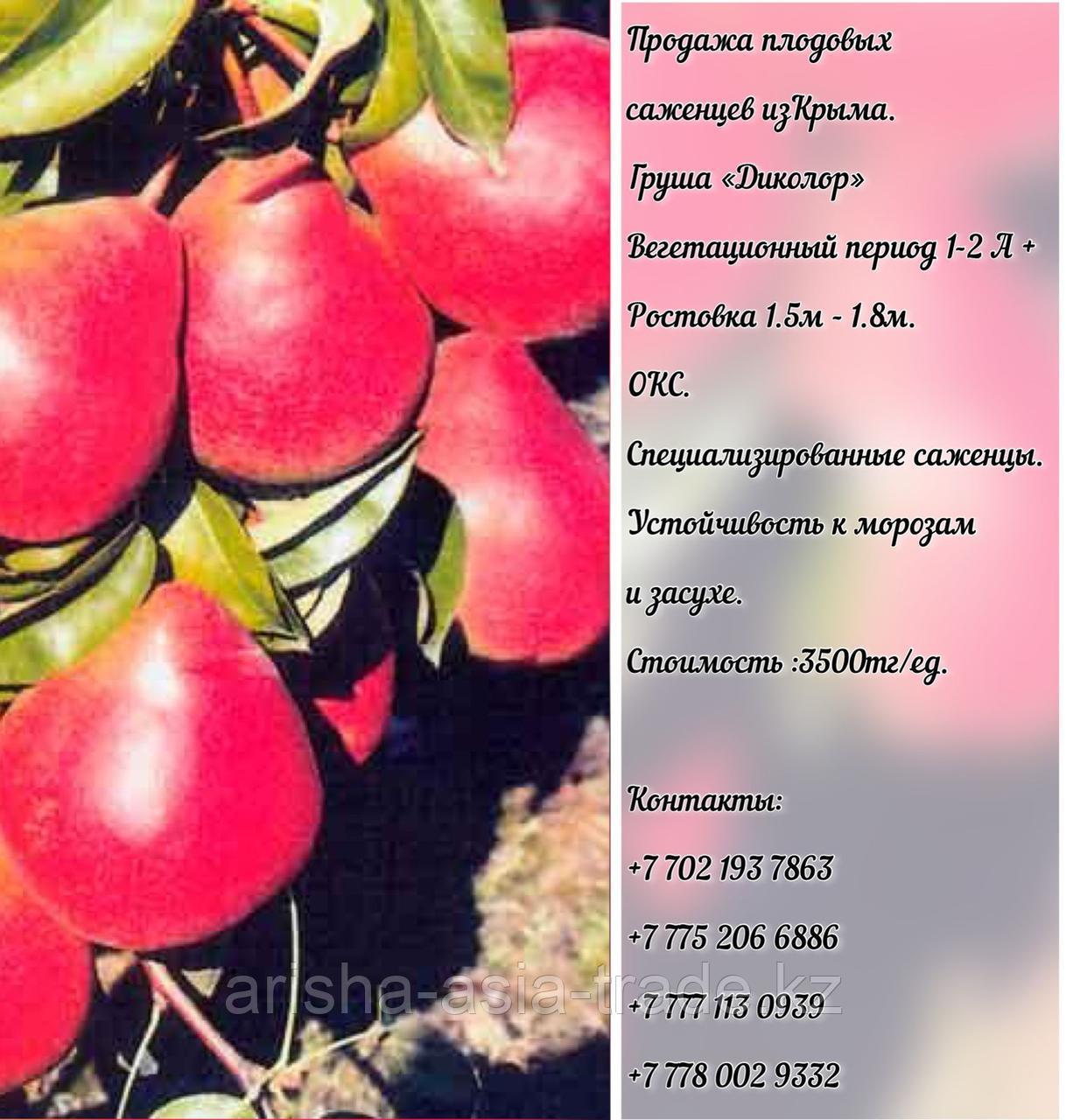"""Саженец груши  """"Диколор"""" Крым"""