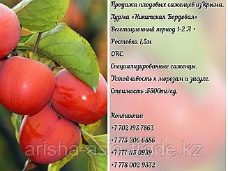 """Саженец хурмы """"Никитская Бордовая"""" Крым"""