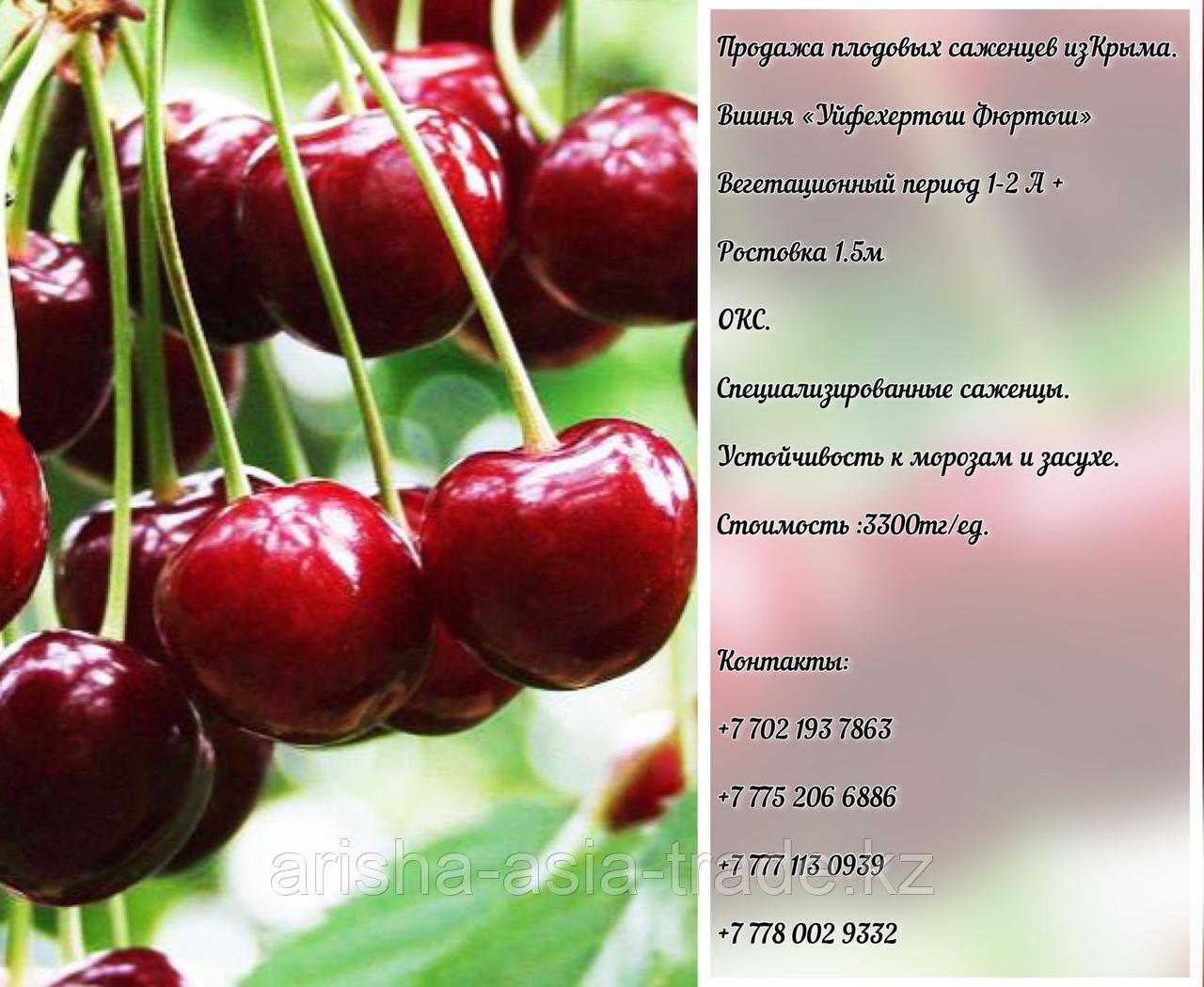 """Саженец вишни """"Уйфехертош Фюртош"""" Крым"""