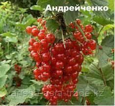 """Саженец красной смородины """"Андрейченко"""" Россия"""