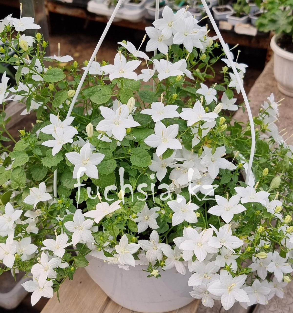 Isophila Atlanta White / взрослое цветущее растение