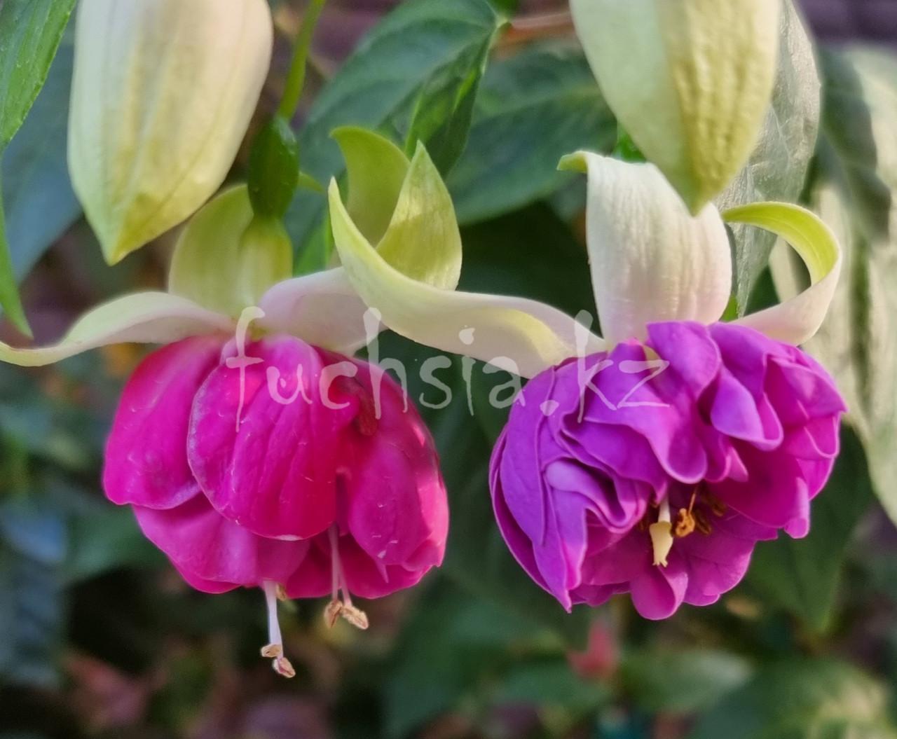 Vlasberg 39 / подрощенное растение