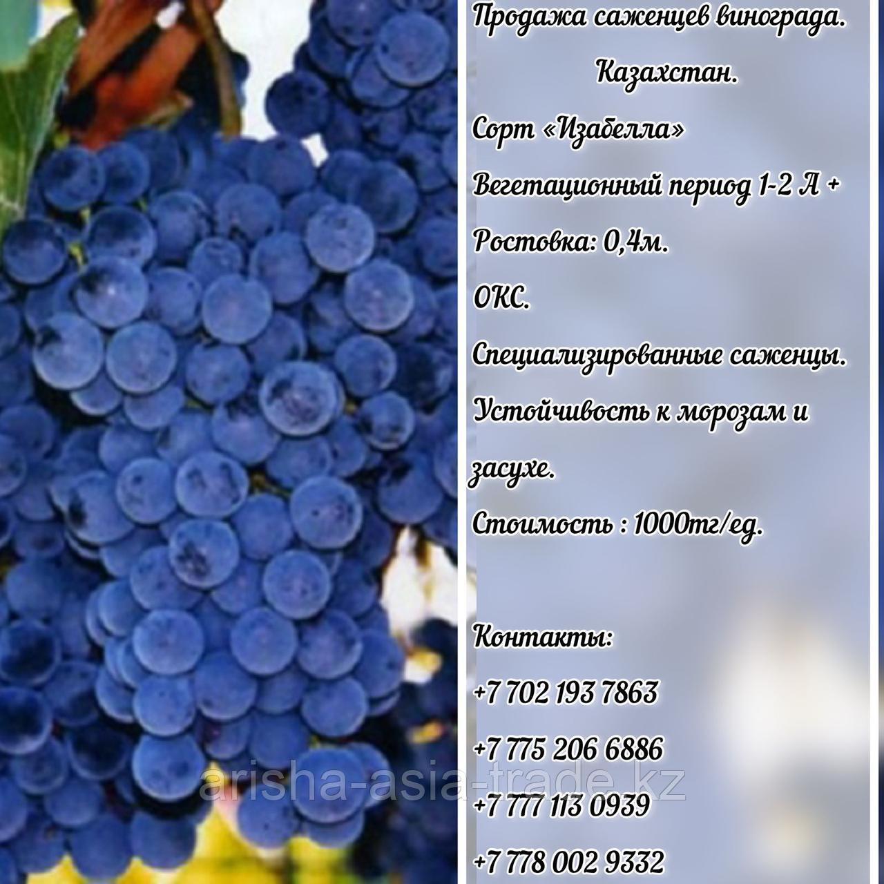 "Саженец виноград ""Изабелла"" Казахстан"
