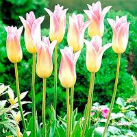 """Луковицы тюльпана лилиецветного """"Элегант Леди""""."""