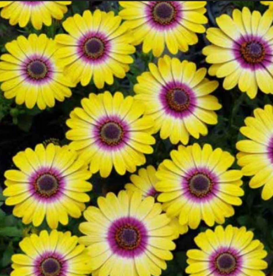 Flower Power Tropic Sun №614/ укор.черенок