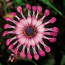 Flower Power Spider Pink №609/ укор.черенок