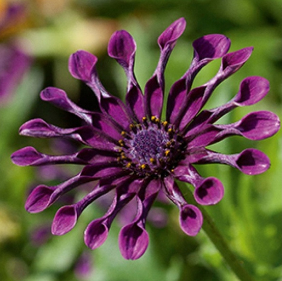 Flower Power Spider Purple №615 / укор.черенок