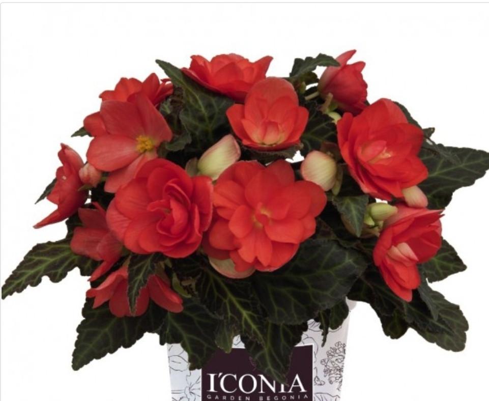 Iconia Miss Malibu N331/ укор.черенок