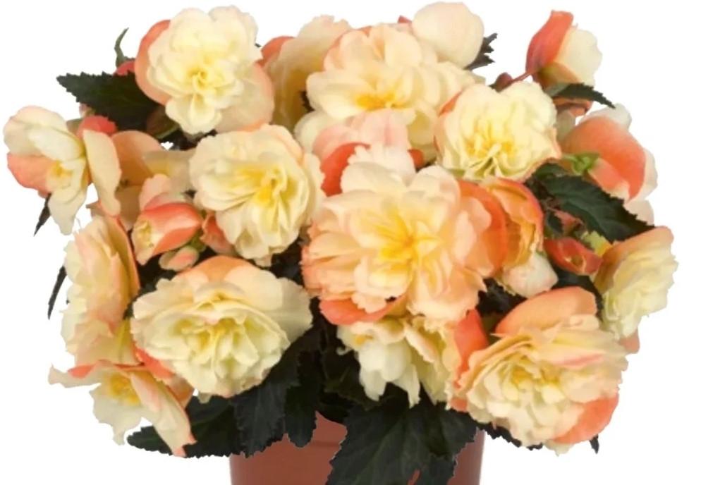Iconia Peach N335/ укор.черенок