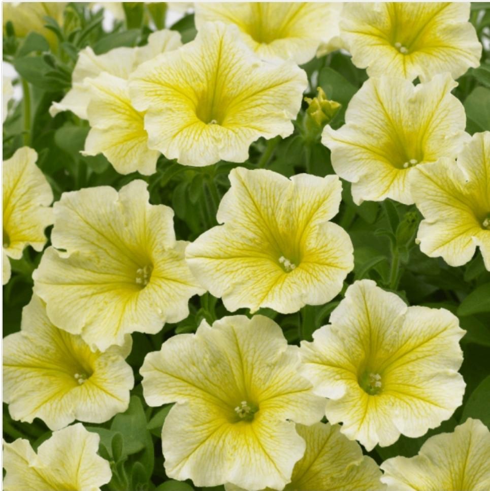 Surfinia Yellow №569 / укор.черенок