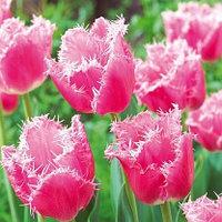 "Луковицы тюльпана бахромчатого ""Кашарель""."