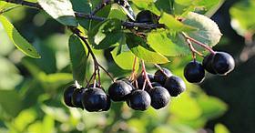 Арония черноплодная,плоды 100г