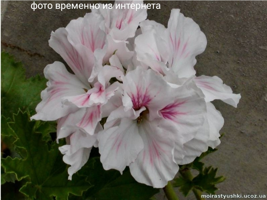 Fleur d'Amore / укор.черенок