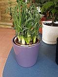 Необычное растение Альбука, фото 2