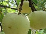 "Яблоня ""Лимонка"", фото 2"