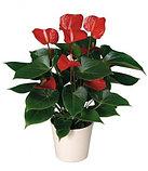 Антуриум. Комнатные цветы. Горшечные растения., фото 2