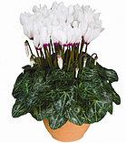 Цикламен. Комнатные цветы. Горшечные растения., фото 3