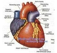 Средства для сердечно-сосудистой системы