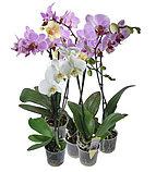 Орхидея микс., фото 2