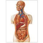 """Плакат анатомический """"Торс"""" (3В)"""