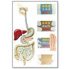 """Плакат анатомический """"Система пищеварения"""" (3В)"""