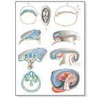 """Плакат анатомический """"Эмбриология 2"""" (3В)"""