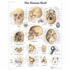 """Плакат анатомический """"Череп человека"""" (3В)"""