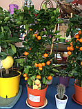 Мандариновое дерево, фото 2