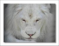 Постер Белый лев