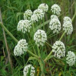 Болиголов трава 40гр., фото 3