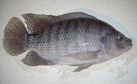 Продажа охлажденной рыбы