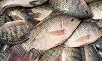 Охлажденная рыба тилапия