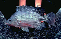 Рыба живая тилапия
