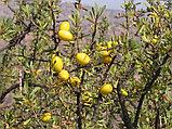 Аргановое масло Марокканское полностью натуральное, 60 мл, фото 3