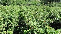 Выращивание ремонтантной малины (на примере сортов Polka и Polana)