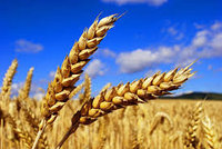 Зерно резанное, плющенное, изм...