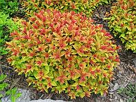 Спирея японская Голдфлейм Spiraea japonica Goldflame