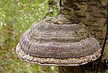 Трутовик лиственничный, 30 гр, фото 2