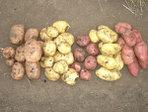 Технология производства картофеля