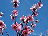 Лысый персик, фото 2