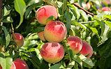 Мохнатый персик, фото 2