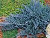 Можжевельник стелющийся (голубой)