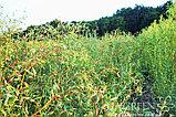 Ива золотистая Erythroflexuosa, фото 2