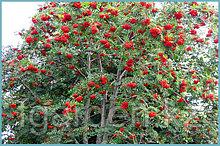 Рябина красная плодная